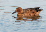 Cinnamon Teal, eclipse male