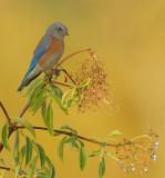 Western Bluebird, male on elderberry bush