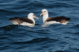 Birds -- Monterey pelagic, October 29, 2011