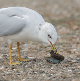 Ring-billed Gull, adult winter, with mussel shell