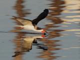 Black Skimmer, skimming