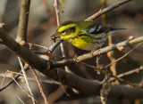 Townsend's Warbler, male, with prey