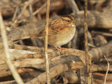 White-throated Sparrow, first cycle