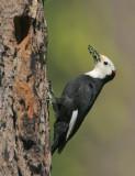 Birds -- Yuba Pass and Sierra Valley, June 2006