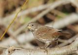 Fox Sparrow, Slate-colored?
