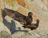 Black Oystercatchers, mating
