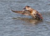 Ruddy Duck, female