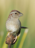 Bachman's Sparrow, singing male