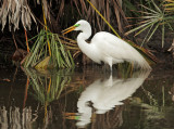 Great Egret, breeding plumage with nesting material