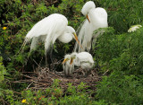 Great Egrets, pair with two nestlings