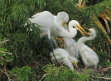 Great Egrets, adult pair with three nestlings
