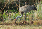 Sandhill Cranes, adult with two chicks