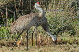 Sandhill Cranes, adult pair with two chicks