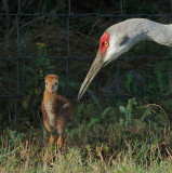 Sandhill Cranes, adult with chick