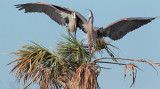 Great Blue Herons courting and mating -- Florida, March 2012