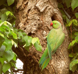 Rose-ringed Parakeets of Bakersfield, April 2012