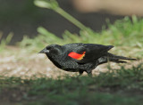 Red-winged Blackbird, typical male