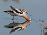 American Avocets, courting and mating, April 2012