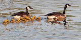 Canada Geese, adult pair and goslings