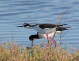 Black-necked Stilts, courting