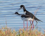 Black-necked Stilts, courting and mating, May 2012