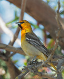 Bullock's Oriole, first summer male or adult female