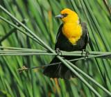 Birds -- Yuba Pass and Sierra Valley, June 2012