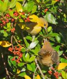 Bullock's Orioles, adult female feeding fledgling