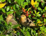 Bullock's Orioles, fledglings