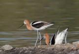 American Avocets, courting and mating -- June, 2012