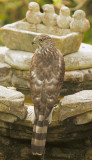 Cooper's Hawk, male, molting to first basic, Summer 2012