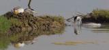 Clark's Grebes nesting, June 30, 2012