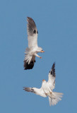 White-tailed Kites, courting flights, July 4, 2012