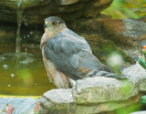 Cooper's Hawk, mostly molted to first basic