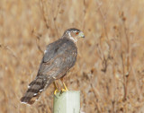 Cooper's Hawk, first year