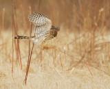 Cooper's Hawk, juvenile, with ... prey?