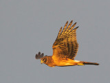Northern Harrier, juvenile, at sunset