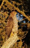 Cooper's Hawk, juvenile, at sunset
