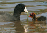 American Coot, adult feeding chick