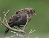 Red-winged Blackbird, bicolored juvenile