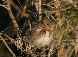 Harris's Sparrow, December 2004
