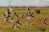 Short-billed Dowitchers, spring breeding plumage