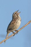 Song Sparrow, singing male