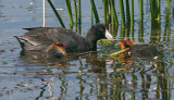 American Coots, adult with juveniles
