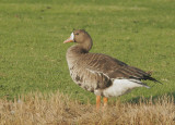 Birds -- Greater White-fronted Geese, November 2006