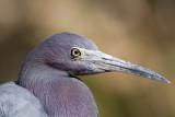 Aigrette bleue / Egretta caerulea / Little Blue Heron