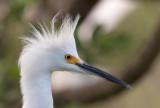 Aigrette neigeuse / Egretta thula / Snowy Egret