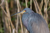 Aigrette tricolore / Egretta tricolor / Tricolored Heron