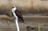 Balbuzard pêcheur / Pandion haliaetus / Osprey