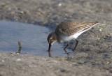 Bécasseau sanderling / Calidris alba / Sanderling